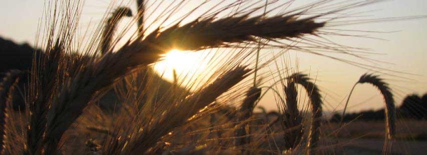 Briznas de trigo como fuente de energía en el amanecer.