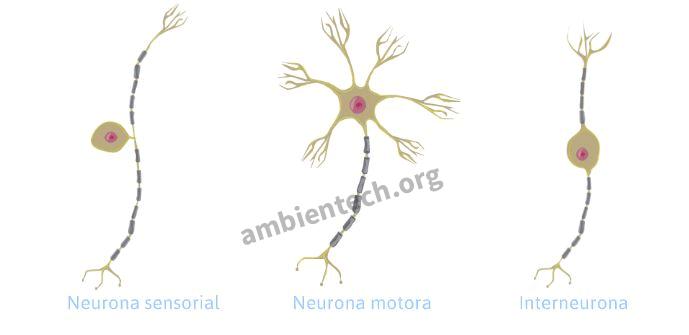 Qué Es La Neurona Glosario De Ciencias Ambientech