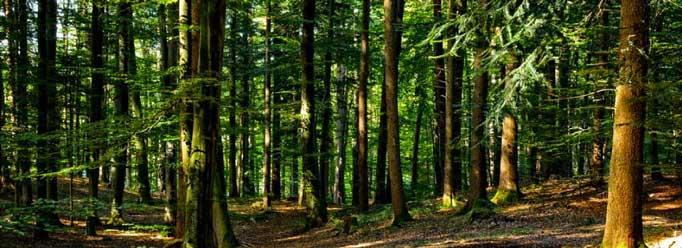 Bosque sostenible. Vista de muchos árboles y hojas secas en el suelo.
