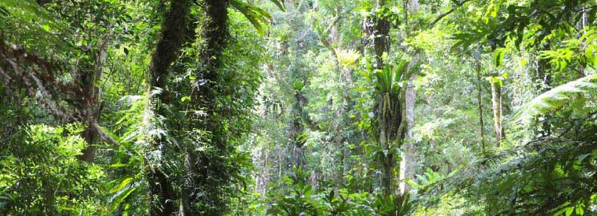 Biomas terrestre, la selva tropical. Selva con multitud de árboles y plantas selváticas colgando de los árboles.