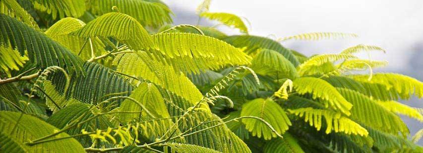 Hojas de una planta Gulmohar (Delonix regia). Como todas, hacen la fotosíntesis.
