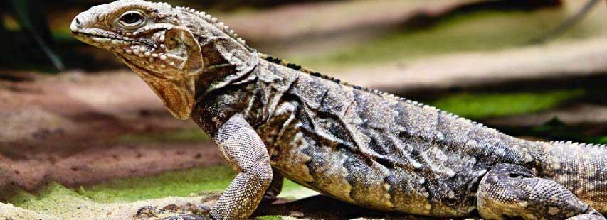 Lagarto (animal reptil) de tamaño grande con la cabeza levantada para estar alerta. El reptil está sobre arena.