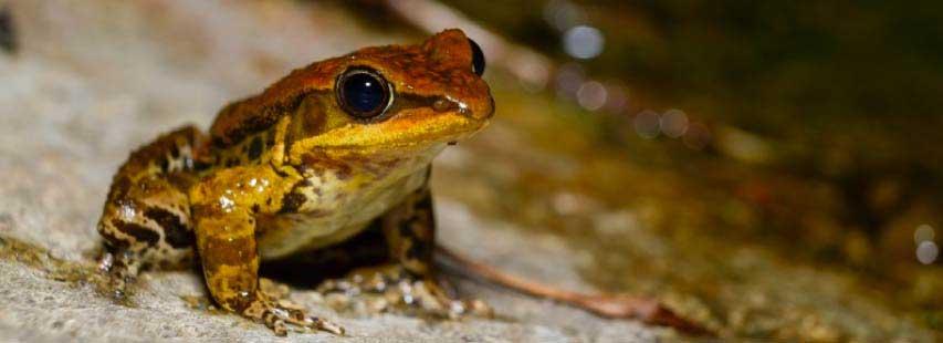 Rana (animal anfibio) de color marronoso con los ojos abiertos. Está encima de una piedra cerca del río.