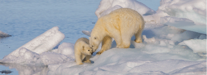 Osos polares sobre hielo y agua. Hielos deshaciéndose en consecuencia del cambio climático.